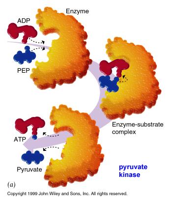 Enzymer i fordøyelsen